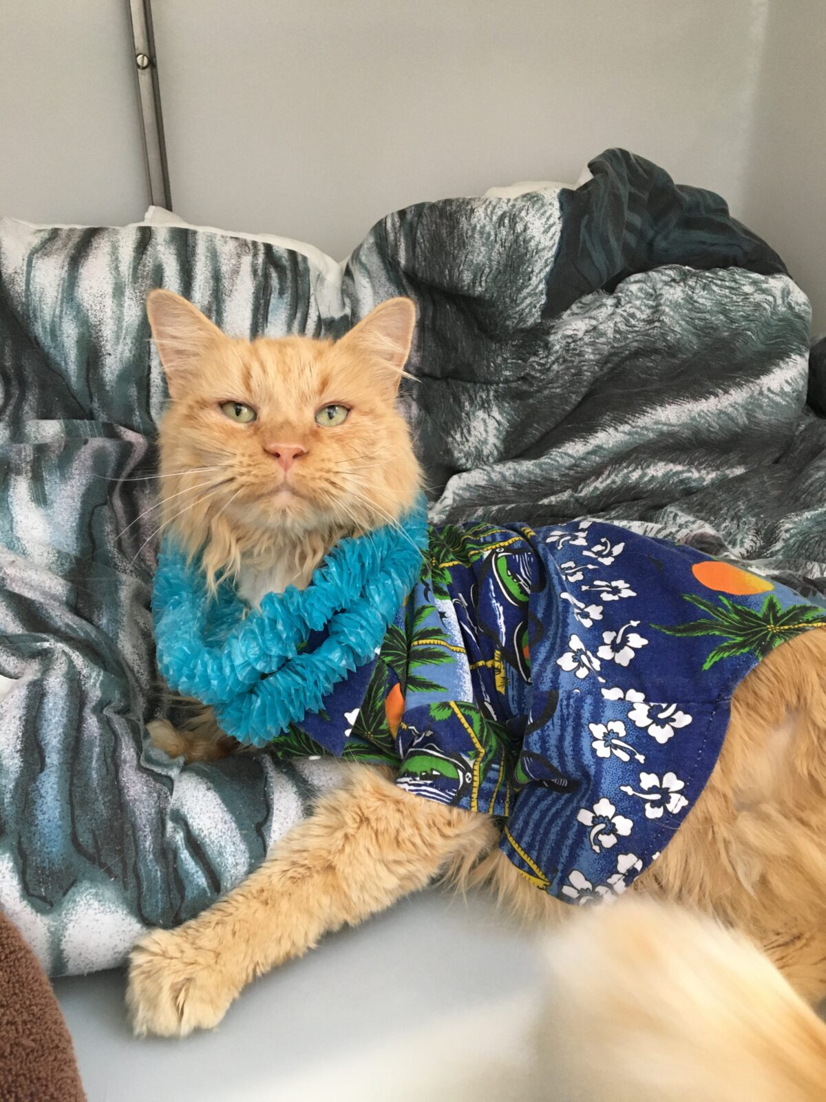 Orange Cat in Hawaiian shirt