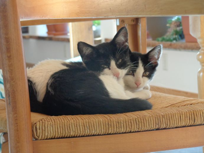 Two black and white cats cuddled together on a chair